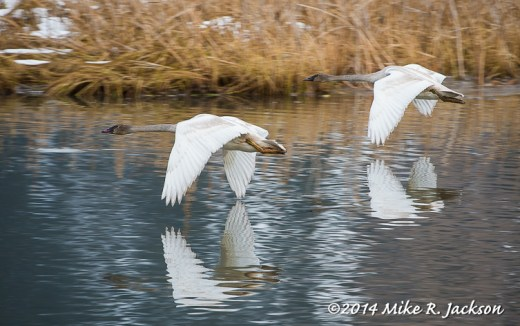 Cygnets on Fly By