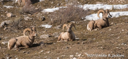Three Bighorn Rams