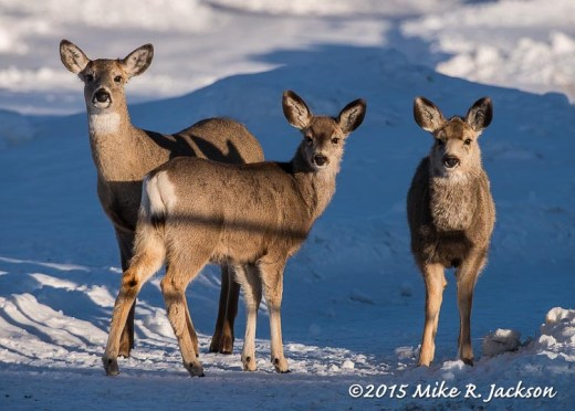 White-tailed Doe and Mule Deer Yearlings