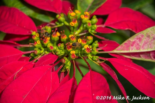 Poinsettia and Bee