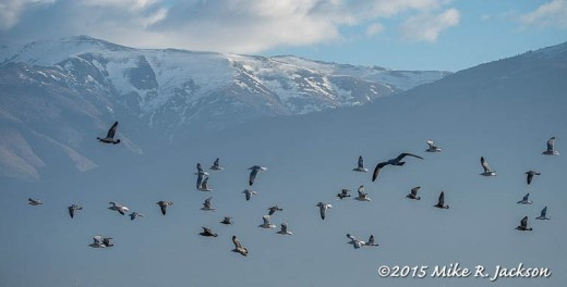 Flock of Gulls