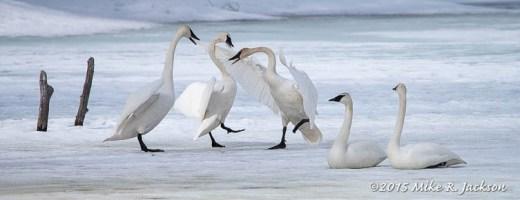 Swan Squabble