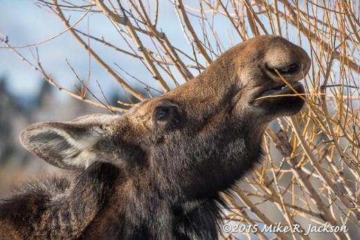 Cow Moose Feeding on Golden Willows
