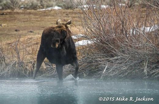 Moose In Kelly Warm Springs
