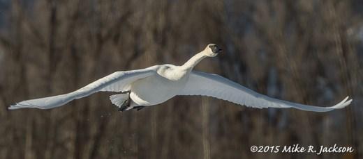 Approaching Swan