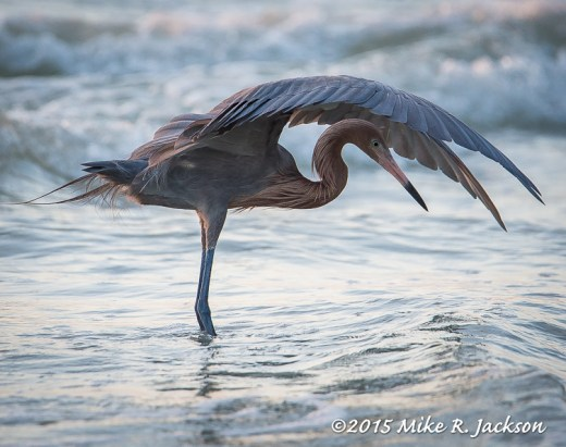 Reddish Heron Fishing
