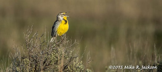 Singing Meadowlark