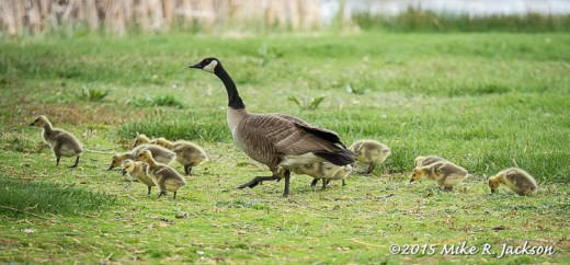 Dozen Young Goslings
