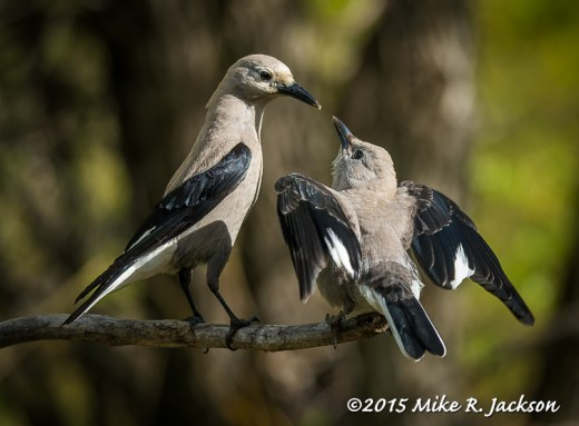 Feeding Clark's Nutcracker