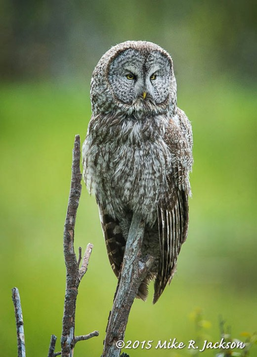 Great Gray Owl On Perch