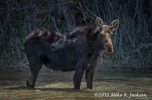 Cow Moose in the Snake River