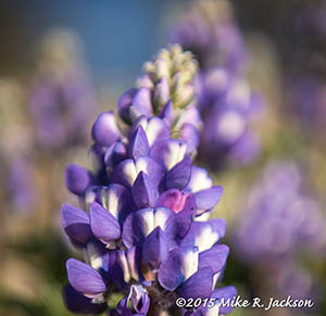 Purple Lupine
