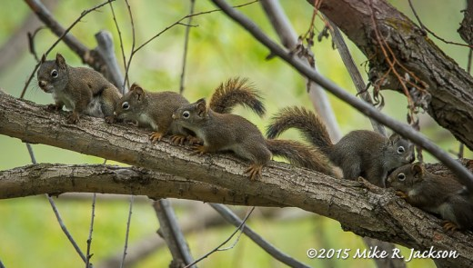 Red Squirrel Family