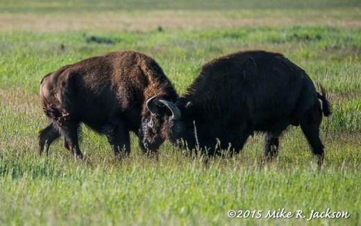 Bison Bull Sparring