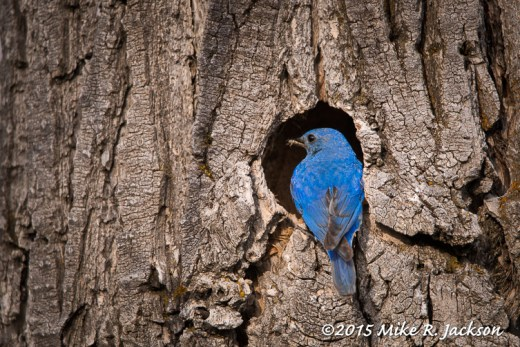 Male Bluebird at the Nest