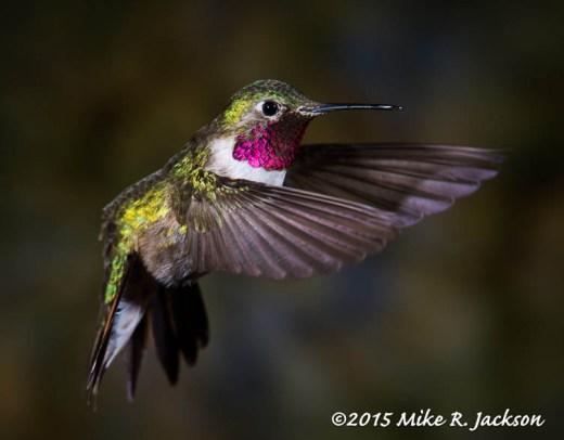 Broad-tailde Hummingbird