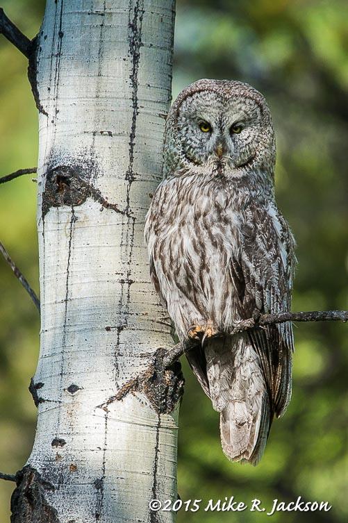 Great Gray Owl in Aspens