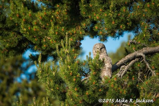 Great Gray In Pines