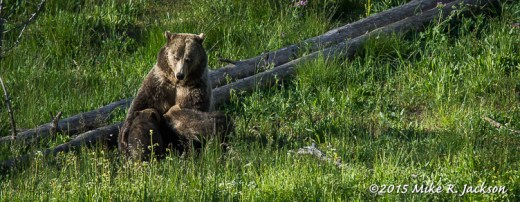 Grizzly Cubs Nursing