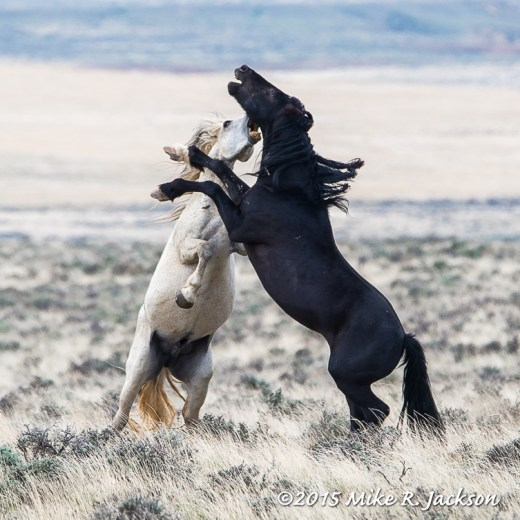 Stallions Fighting