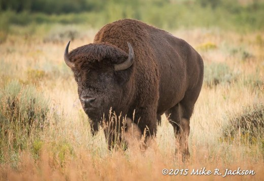 Bison In Gold Light