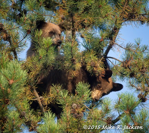 Cubs in Tree Top