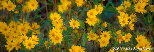 Yellow Wildflowers