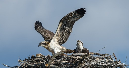 Osprey Youngster