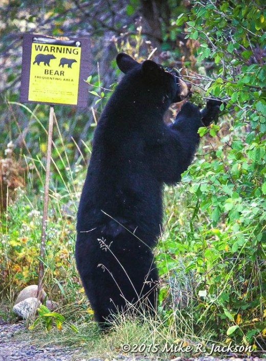 Signs of Bear