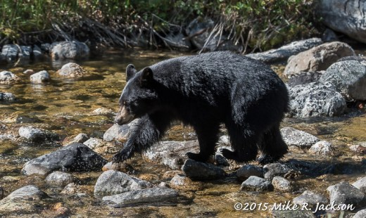 Black Bear Crossing the Creek