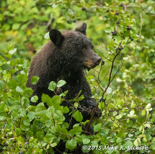 Cinnamon Bear and Hawthorne Berries