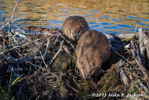 Parade of Beavers