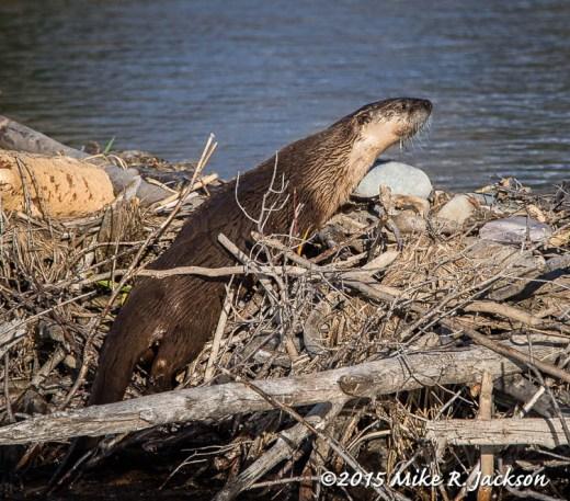 River Otter Crossing Beaver Dam