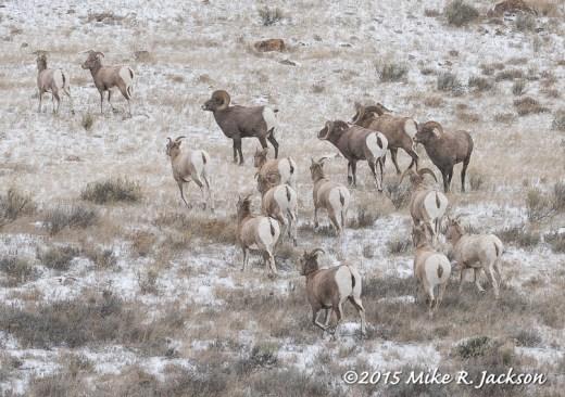 Herd of Bighorns