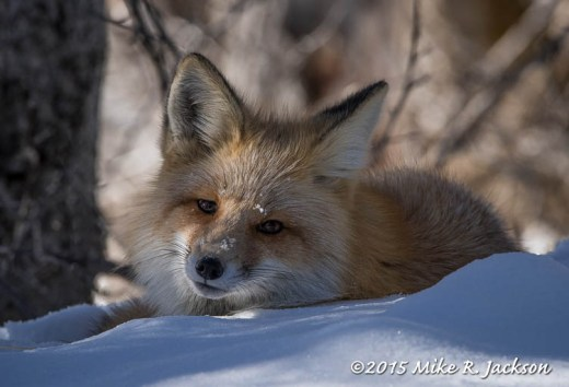 Curious Lazy Fox