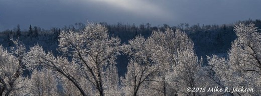 Frosted Gros Ventre Cottonwoods