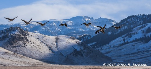 Geese on the Wing