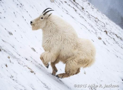 Mountain Goat Uphill