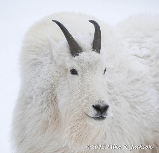 Mtn Goat Portrait