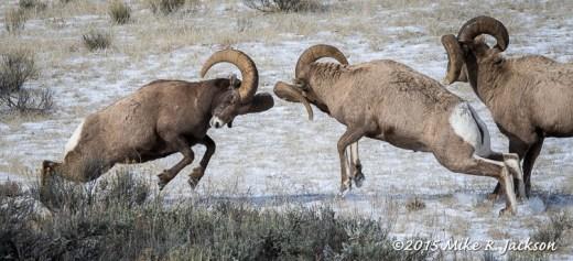 Rams Bashing