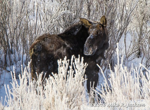 Bull Moose in Frosted Willows