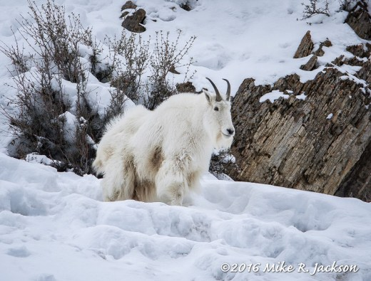 Mountain Goat by the Rocks
