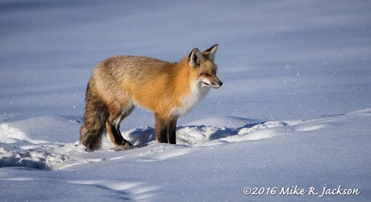 Afternoon Light and Red Fox
