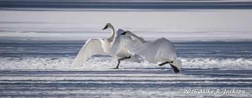Swans in Action
