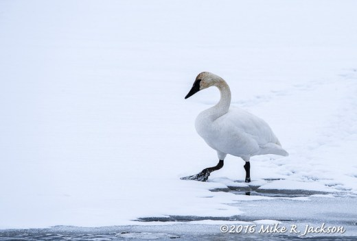 Stepping Swan