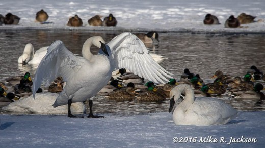 Trumpeter Swans and Mallard Ducks
