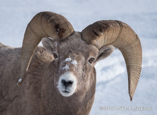 Ram Portrait with Snow
