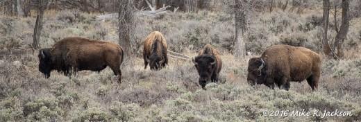 Bison Leaving Refuge