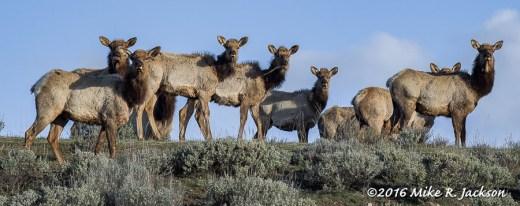 Group of Elk