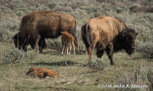 Bison: Red Dogs